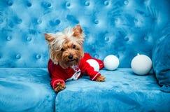 Juguete rojo del sofá del terrier de la turquesa del sofá de la sesión de foto del color del perro del animal doméstico de la Nav Fotografía de archivo