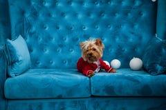 Juguete rojo del sofá del terrier de la turquesa del sofá de la sesión de foto del color del perro del animal doméstico de la Nav Foto de archivo libre de regalías