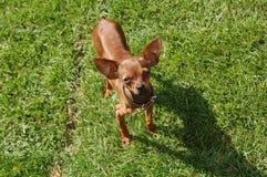 Juguete-Terrier en hierba fotos de archivo