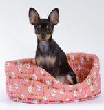Juguete-terrier en una cesta Fotografía de archivo libre de regalías