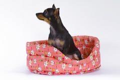 Juguete-terrier en una cesta Imagen de archivo libre de regalías