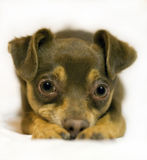 Juguete-Terrier Frodo. Imágenes de archivo libres de regalías