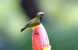 jugularis Oliva-di appoggio di Cinnyris di sunbird Immagine Stock Libera da Diritti