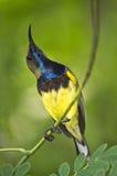 Jugularisvogel van Nectarinia Stock Foto