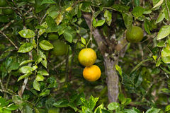 Juice Oranges. Juicing oranges in the Cayo district of Belize Royalty Free Stock Photos