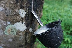 Juice of rubber trees to collect for the production of rubber. Latex juice milky rubber plants cut on a tree bowl full of white liquid traditional way for asia royalty free stock photo
