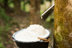 Juice of rubber trees to collect for the production of rubber. Uice of rubber trees to collect in the cups for the production of rubber royalty free stock photo