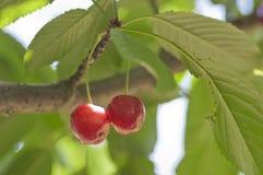 Juicily körsbär på ett träd Arkivbild