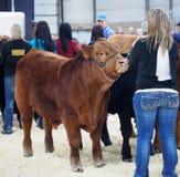 Juicio del ganado Imagen de archivo libre de regalías