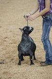 Juicio justo de la competencia de la cabra Imágenes de archivo libres de regalías