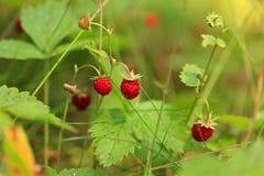 Juicy άγρια φράουλα στο ξύλο Στοκ Εικόνες