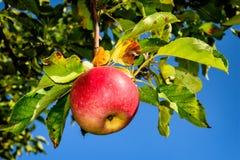 Juicy δέντρο Jonadared της Apple φρούτων στον κήπο στο εξοχικό σπίτι Στοκ Εικόνες