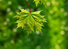 Juicy και φρέσκο φύλλο του δέντρου, στο πράσινο υπόβαθρο, φύση άνοιξη Στοκ φωτογραφία με δικαίωμα ελεύθερης χρήσης