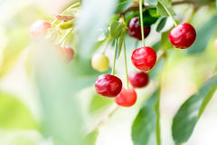 juicy κόκκινο κερασιών Στοκ εικόνες με δικαίωμα ελεύθερης χρήσης
