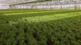 Juicy πράσινα λουλούδια στο θερμοκήπιο, ένα τεράστιο σύγχρονο θερμοκήπιο με μια στέγη γυαλιού Ανάπτυξη των λουλουδιών σε ένα θερμ φιλμ μικρού μήκους