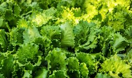 Juicy πράσινα φύλλα μαρουλιού φυσική σύσταση Οργανικό κρεβάτι μαρουλιού στον κήπο Στοκ Εικόνες
