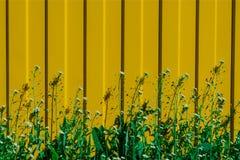 Juicy πράσινη χλόη με τα λουλούδια σε ένα κίτρινο υπόβαθρο φρακτών ημέρα ηλιόλουστη Στοκ Φωτογραφίες