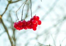Juicy συστάδα σταφυλιών στις ακτίνες χειμερινών ήλιων στοκ εικόνες