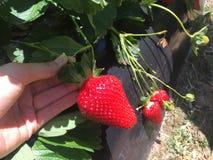 Juicy φράουλα στον τομέα στοκ εικόνες με δικαίωμα ελεύθερης χρήσης