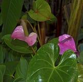 Juicy φωτεινά χρώματα Krasbvye, κόκκινο πέταλο με ένα άσπρο Stamen Anthurium Στοκ φωτογραφίες με δικαίωμα ελεύθερης χρήσης