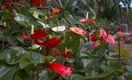 Juicy φωτεινά χρώματα Krasbvye, κόκκινο πέταλο με ένα άσπρο Stamen Anthurium Στοκ Εικόνα