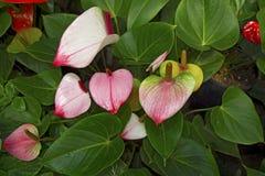 Juicy φωτεινά χρώματα Krasbvye, κόκκινο πέταλο με ένα άσπρο Stamen Anthurium Στοκ φωτογραφία με δικαίωμα ελεύθερης χρήσης
