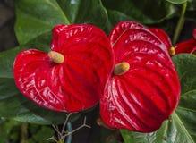 Juicy φωτεινά χρώματα Krasbvye, κόκκινο πέταλο με ένα άσπρο Stamen Anthurium Στοκ Εικόνες