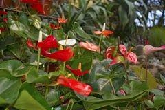 Juicy φωτεινά χρώματα Krasbvye, κόκκινο πέταλο με ένα άσπρο Stamen Anthurium Στοκ εικόνα με δικαίωμα ελεύθερης χρήσης