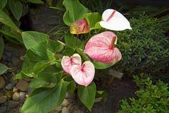Juicy φωτεινά χρώματα Krasbvye, κόκκινο πέταλο με ένα άσπρο Stamen Anthurium Στοκ εικόνες με δικαίωμα ελεύθερης χρήσης
