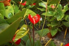 Juicy φωτεινά χρώματα Krasbvye, κόκκινο πέταλο με ένα άσπρο Stamen Anthurium Στοκ Φωτογραφίες