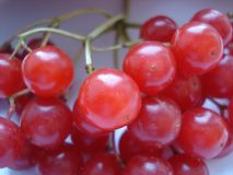 juicy ώριμος επάνω χειμώνας των βακκίνιων μούρων στενός Κόκκινη κινηματογράφηση σε πρώτο πλάνο viburnum Ο κλάδος του viburnum Στοκ Εικόνες