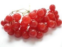 juicy ώριμος επάνω χειμώνας των βακκίνιων μούρων στενός Κόκκινο viburnum σε ένα άσπρο υπόβαθρο Ο κλάδος του viburnum στοκ φωτογραφία με δικαίωμα ελεύθερης χρήσης