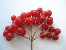 juicy ώριμος επάνω χειμώνας των βακκίνιων μούρων στενός Κόκκινο viburnum σε ένα άσπρο υπόβαθρο Ο κλάδος του viburnum στοκ εικόνες με δικαίωμα ελεύθερης χρήσης