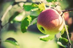 juicy ώριμος μήλων Στοκ φωτογραφίες με δικαίωμα ελεύθερης χρήσης