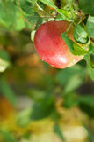 Juicy apple in a garden Stock Images