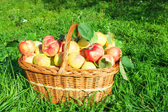 Juicy apples in basket. Harvesting in orchard . Stock Photos