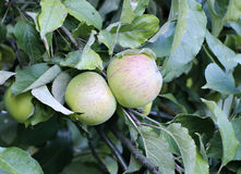 Juicy apples on a branch columnar apple trees Royalty Free Stock Images