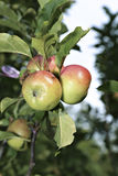 Juicy apples on a branch columnar apple trees Stock Photos