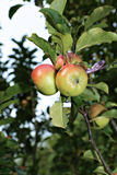 Juicy apples on a branch columnar apple trees Stock Images
