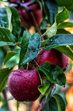 Juicy apples Royalty Free Stock Images