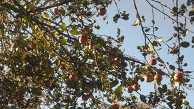 Juicy apples on a tree branch in the garden. Apple tree in the evening. stock footage