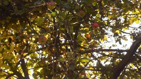 Juicy apples on a tree branch in the garden. Apple tree in the evening. stock video footage
