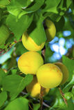 Juicy apricots. Orange and green juicy apricots ripening on a branch with green leaves Stock Photo