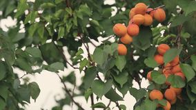 Juicy beautiful amazing nice apricot fruit on the tree branch, sunny summer good day with light breeze. Shallow depth of the field. Toned video, 50fps stock footage