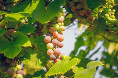 Juicy berries of Muscat grapes Stock Photos