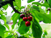 Juicy black cherry on a tree Stock Photo