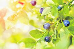 Juicy blueberries with green leaves Royalty Free Stock Photography