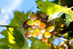 Juicy bunch of ripe grapes in the vineyard on Royalty Free Stock Photography