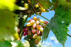 Juicy bunch of ripe grapes in the vineyard Royalty Free Stock Images
