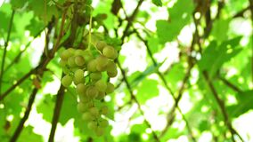 Ripened bunches of white grape varieties on the vine. natural wine production. Organic food. Grape harvest